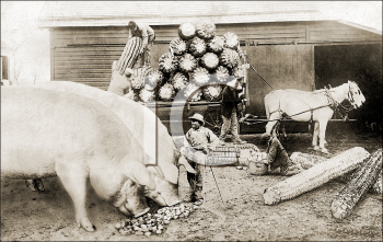 Royalty Free Photo of Unusually Large Corn and Pigs