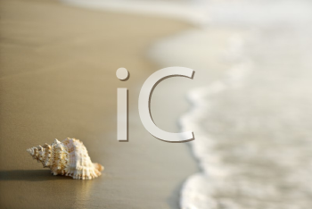 Royalty Free Photo of a Conch Shell on the Beach
