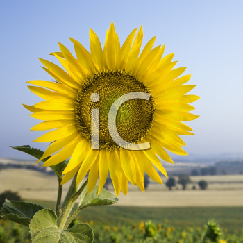 Royalty Free Photo of a Sunflower Growing in a Field in Tuscany, Italy
