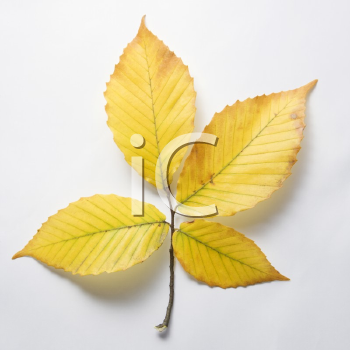 Royalty Free Photo of Branch of Four Yellow American Beech Tree Leaves