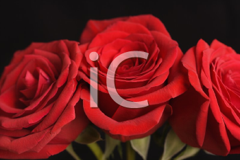 Royalty Free Photo of a Close-up of Three Red Roses