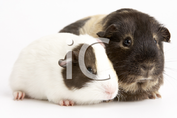 Royalty Free Photo of Guinea Pigs