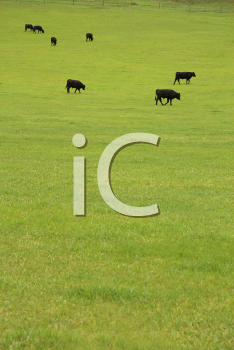 Royalty Free Photo of Black Angus Beef Cattle in a Lush Green Pasture