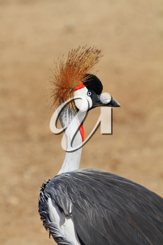 Elegant and graceful bird with magnificent plumage crest on the head. Park safari in Tel Aviv.