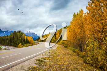 The grandiose nature of the Rockies of Canada. Migratory birds fly in flocks. The magnificent Highway 93 Icefields Parkway. The concept of active and automobile tourism