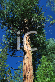 Royalty Free Photo of  a Tall Tree