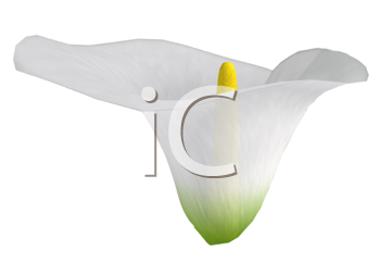 Royalty Free Clipart Image of a Calla Lily