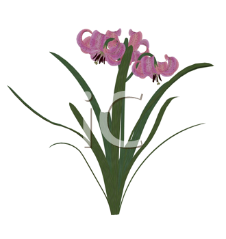 Royalty Free Clipart Image of a Pink Lily