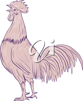 Drawing sketch style illustration of a chicken rooster crowing viewed from the side set on isolated white background.