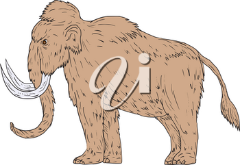 Drawing sketch style illustration of a woolly mammoth, Mammuthus primigenius, a prehistoric elephant that lived during the Pleistocene epoch and one of the last mammoth species standing viewed from th