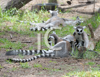 Royalty Free Photo of Lemurs and Babies