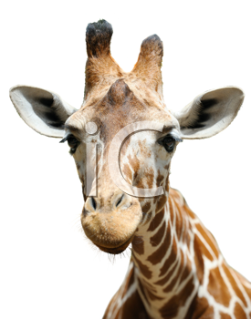 Royalty Free Photo of a Giraffe's Head