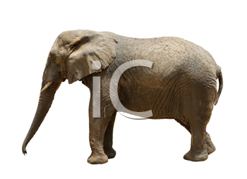 Royalty Free Photo of an Elephant