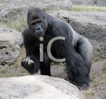 Royalty Free Photo of Gorillas