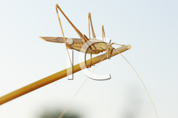 Royalty Free Photo of a Grasshopper on a Plant