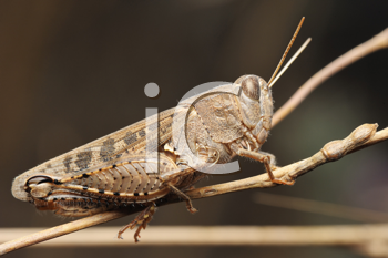 Royalty Free Photo of a Grasshopper on a Dry Plant