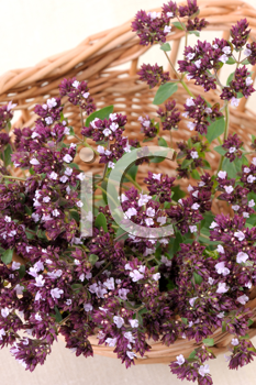 Royalty Free Photo of Flowers of Aromatic and Medicinal Plants
