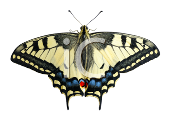Swallowtail butterfly on a white background, isolated.