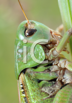 Royalty Free Photo of a Grasshopper, Green Bush-Cricket (Tettigonia Cantans)