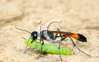 Royalty Free Photo of a Wasp With a Paralyzed Caterpillar