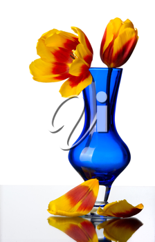 Tulip flowers in a blue glass vase, isolated on a white background.