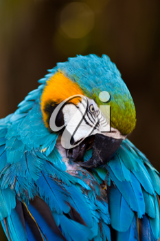 Colorful Blue Yellow Macaw Parrot Bird