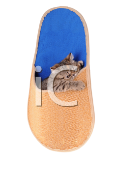 Striped fluffy kitten in a slipper isolated on white background
