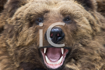 Royalty Free Photo of a Brown Bear