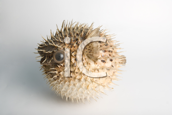 Royalty Free Photo of a Porcupine Fish