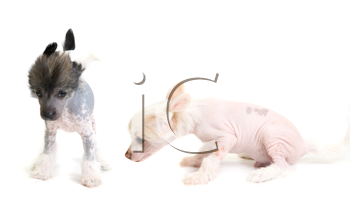 Royalty Free Photo of Chinese Crested Puppies
