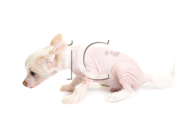 Royalty Free Photo of a Chinese Crested Puppy