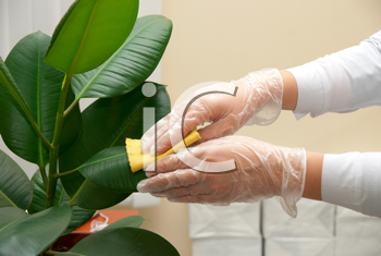 Girl at gloves cleaning ficus plant by wet sponge