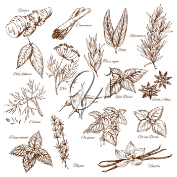 Spices and herbs or sketch seasonings of ginger and cinnamon or sage and bay, rosemary and tarragon flavoring, cumin or peppermint and oregano or green basil. Vector isolated icons set of chili pepper