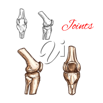 Human knee or elbow bones and joints vector sketch icon of body skeleton anatomy. Isolated symbol of arm or leg organ structure for anatomical orthopedic or medical surgery design element