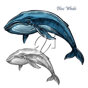 Whale sea animal isolated sketch. Swimming blue whale marine mammal symbol for underwater wildlife theme, t-shirt print, fishery industry design