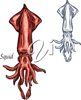 Squid sketch icon. Vector isolated ocean calamari cuttlefish or cephalopod species, fauna and zoology animal symbol or for fishing club or fishery seafood market