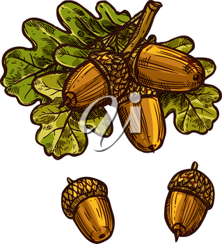 Oak acorn and leaf sketch icon for Thanksgiving traditional greeting card design template. Vector isolated acorns and oak leaves for October Thanksgiving autumn season holiday celebration