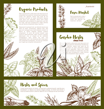 Herbs and spices seasonings sketch banners and posters. Vector organic vanilla, thyme or basil and tarragon or rosemary, farm oregano or peppermint and anise or cinnamon and bay leaf