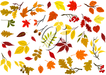 Colorful set of autumn leaves, acorns, berries and tree branches for seasonal design. Isolated on white background