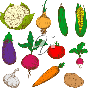 Bright young spring carrot, tomato, radish and onion, cucumber and potato, corn and garlic, eggplant, cauliflower and beet vegetables. Isolated sketches for recipe book or vegetarian menu