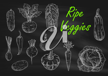 Ripe vegetables chalk sketch on blackboard. Menu chalkboard with carrot, pepper, onion and zucchini, cabbage and cucumber, potato and beet, chinese cabbage and kohlrabi, squash and scallion