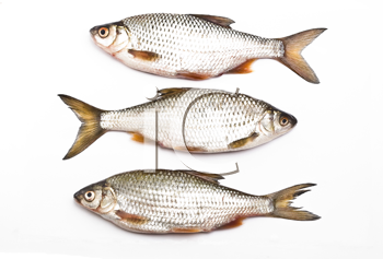 Royalty Free Photo of Carps