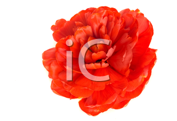Flower. Close-up of red tulip bud isolated on white