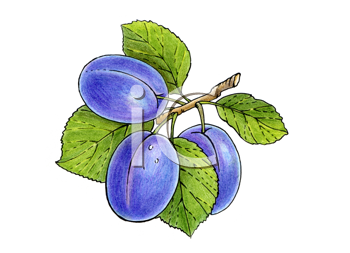 Royalty Free Clipart Image of Plums