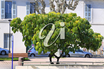 Schefflera pueckleri, beautiful exotic tree on street of Menton, French Riviera, France