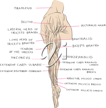 Hand drawn illustration of the arm muscles, artistic anatomy graphic study