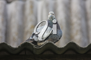 Royalty Free Photo of a Pigeon on a Roof
