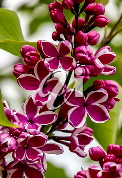Blooming lilacs. lilac flowers. lilac branches. purple flowers. Lilac is shrub or small tree of the olive family, which has fragrant violet, pink, or white blossom.