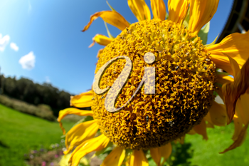 Blooming flowers. Sunflowers on a green grass.  Meadow with sunflowers. Wild flowers. Closeup on sunflower. Sunflower on field. Sunflower is tall plant of the daisy family, with very large golden-rayed flowers.