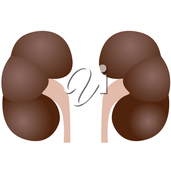 The internal organs. The illustration on a white background.